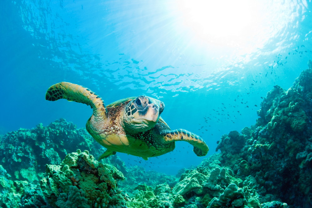 https://costaricaholidayrentals.com/wp-content/uploads/2021/07/Playa-Hermosa-Costa-Rica-Tortuga-Verde.jpg